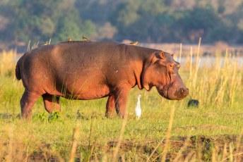 Zodra een nijlpaard op land komt vallen de ossenpikkers aan.