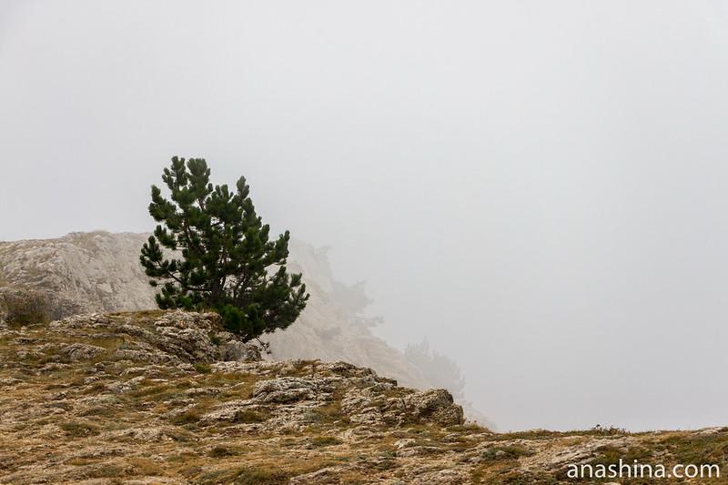 Сосна на вершине Ай-Петри, Крым