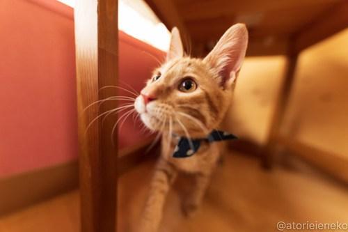 アトリエイエネコ Cat Photographer 46128200631_6a2f5b13ca 1日1猫!おおさかねこ倶楽部 里活中の元気くん♪ 1日1猫!  里親募集 茶トラ 猫写真 猫カフェ 子猫 写真 保護猫カフェ 保護猫 ハチワレ ニャンとぴあ サビ猫 キジ猫 カメラ おおさかねこ倶楽部 Kitten Cute cat