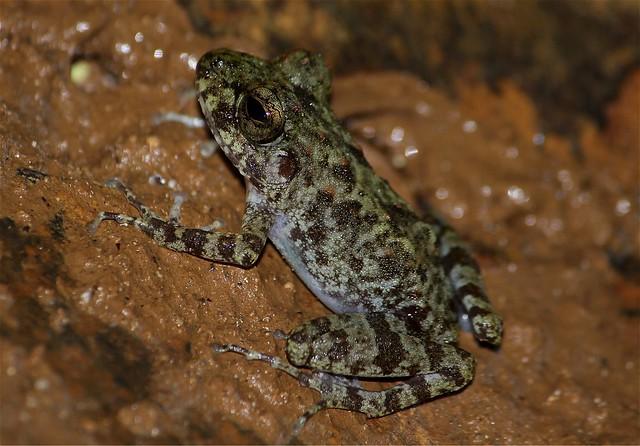 Frog at Panhulugan Cave