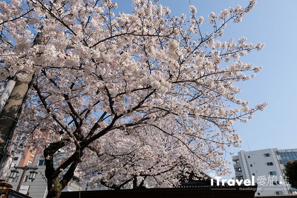 福岡賞櫻景點 櫛田神社 (4)