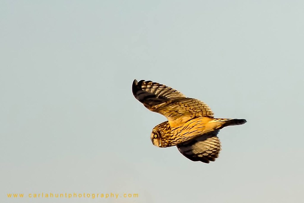 Short-eared owl, Swan Lake Nature Reserve, Vernon, BC