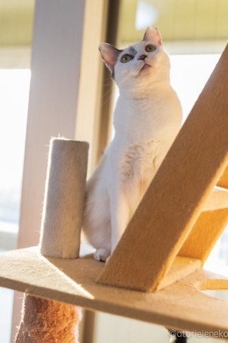 アトリエイエネコ Cat Photographer 44506947260_cdc0967398 1日1猫!保護猫カフェけやきさん! 1日1猫!  里親募集 猫写真 猫カフェ 猫 守口 子猫 写真 保護猫カフェけやき 保護猫カフェ 保護猫 カメラ おおさか Kitten Cute cat