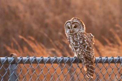 Backlit Barred Owl