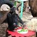 Schimpanse Frodo wird 5 Jahre alt