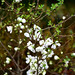 White Quince