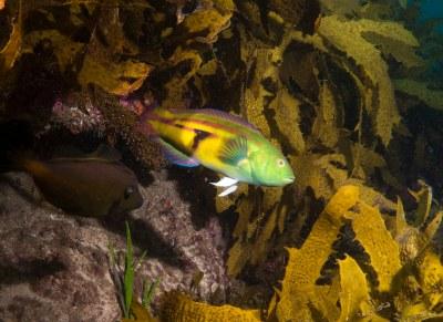 Fin wave - Senator wrasse Pictilabrus laticlavius #marineexplorer