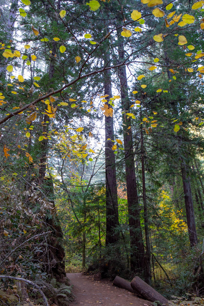 11.18. Henry Cowell Redwoods State Park. Fallen Creek Unit