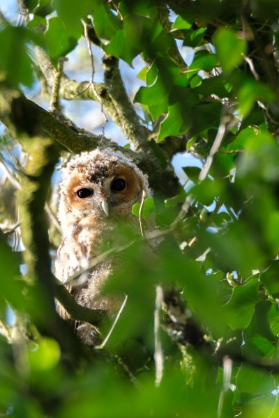 Cute baby forest owl