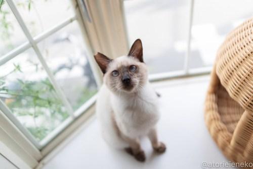 アトリエイエネコ Cat Photographer 32371725098_805825991e 1日1猫!高槻ねこのおうち  バニラちゃんのトライアル決定♫ 1日1猫!  高槻ねこのおうち 高槻 里親募集 猫 子猫 保護猫 アトリエイエネコ ねこ sheltercat photo Kitten cat