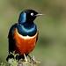 Superb Starling (Lamprotornis superbus)