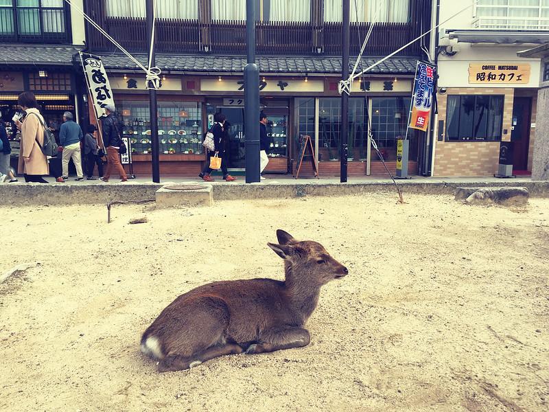 Wild deer at Miyajimacho