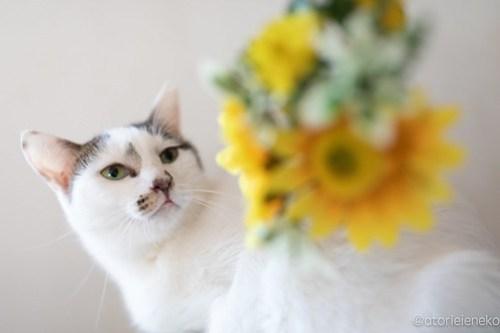 アトリエイエネコ Cat Photographer 43993605100_51e79ba0fc 1日1猫!高槻ねこのおうち  え!タラちゃん?なムーンちゃん♫ 1日1猫!  高槻ねこのおうち 里親様募集中 里親募集 猫写真 猫カフェ 猫 子猫 大阪 写真 保護猫 スマホ カメラ Kitten Cute cat