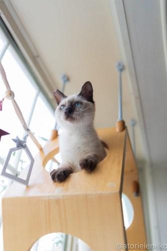 アトリエイエネコ Cat Photographer 46193387392_0788972e5d 1日1猫!高槻ねこのおうち  バニラちゃんのトライアル決定♫ 1日1猫!  高槻ねこのおうち 高槻 里親募集 猫 子猫 保護猫 アトリエイエネコ ねこ sheltercat photo Kitten cat