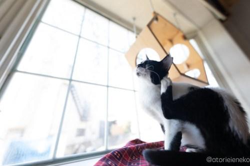アトリエイエネコ Cat Photographer 45810299751_578cbc031e 1日1猫!高槻ねこのおうち 里活中のベルちゃん♫ 1日1猫!  高槻ねこのおうち 高槻 里親様募集中 里親募集 猫写真 猫 子猫 大阪 写真 保護猫 ハチワレ キジ猫 カメラ Kitten Cute cat