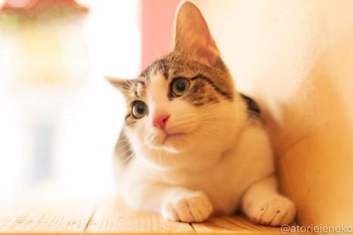 アトリエイエネコ Cat Photographer 46078189302_e936313ec1 1日1猫!おおさかねこ倶楽部 里活中のカイくん♪ 1日1猫!  里親募集 茶トラ 猫写真 猫カフェ 猫 子猫 写真 保護猫カフェ 保護猫 ハチワレ ニャンとぴあ サビ猫 キジ猫 カメラ おおさかねこ倶楽部 Kitten Cute cat
