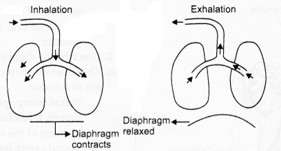 RBSE Solutions for Class 10 Science Chapter 2 Human System al3