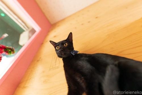 アトリエイエネコ Cat Photographer 46128205101_b5a48fc92e 1日1猫!おおさかねこ倶楽部 里活中のクロピー♪ 1日1猫!  黒猫 里親募集 茶トラ 猫写真 猫カフェ 猫 子猫 写真 保護猫カフェ 保護猫 ハチワレ ニャンとぴあ サビ猫 キジ猫 カメラ おおさかねこ倶楽部 Kitten Cute cat