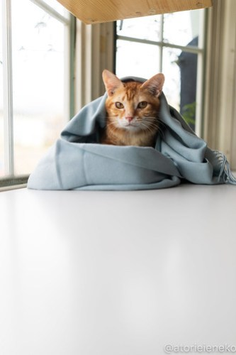 アトリエイエネコ Cat Photographer 45520162264_d792d5c79b 1日1猫!高槻ねこのおうち  里親決定のみかんちゃん♫ 1日1猫!  高槻ねこのおうち 里親募集 茶トラ 猫 子猫 ねこ sheltercat photo Kitten cat
