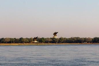 Hier vliegen toevallig twee  Afrikaanse schaarbekken of African Skimmers langs (Rynchops flavirostris), een redelijk zeldzame vogel.