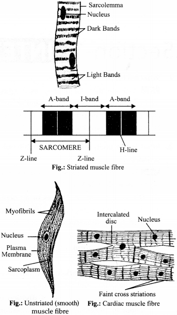 NCERT Solutions for Class 9 Science Chapter 6 Tissues