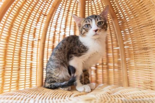 アトリエイエネコ Cat Photographer 46244128331_15569b834a 1日1猫!高槻ねこのおうち  里活中のコロンちゃん♫ 1日1猫!  高槻ねこのおうち 里親募集 猫 子猫 保護猫 ねこ sheltercat sheltercar photo Kitten Cute cat