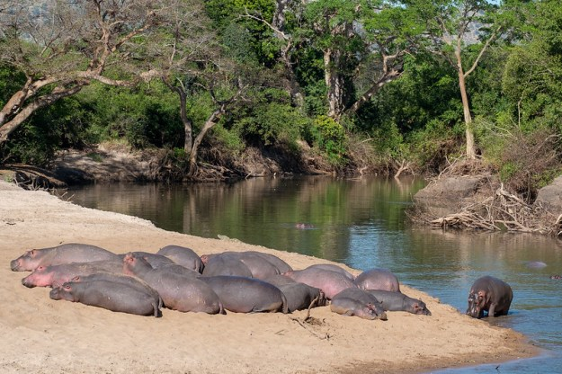 Hauled-out hippos