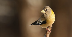 Gros-bec errant \ Evening Grosbeak