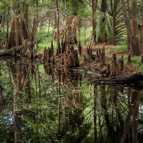 Black Bear Wilderness Area %: Inside the cypress Swamp