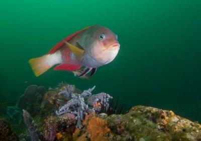 Notolabrus gymnogenis checking me out #marineexplorer