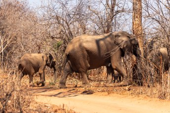 We moesten zelfs regelmatig wachten voor kuddes olifanten.