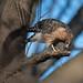 Red-shouldered Hawk eating Garter Snake