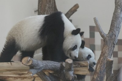 2-year-old Fu Feng and Fu Ban 2018-10-20