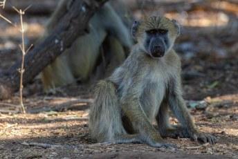 Dit gele baviaantje keek iedere keer dat de camera klikte en piepte waar dat geluid toch vandaan kwam.