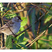 White-crowned Sparrow (Zonotrichia leucophrys) WCSP - South Florida Winter Visitor