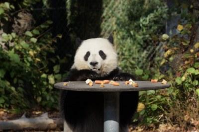 2-year-old Tian Bao (天宝) 2018-10-14