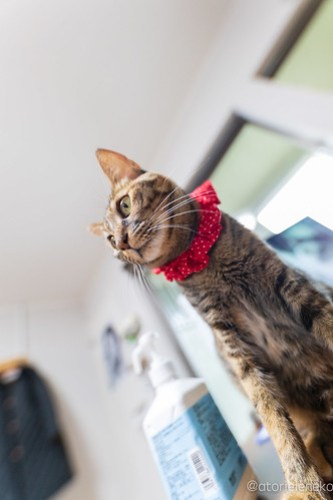 アトリエイエネコ Cat Photographer 31384529427_89b2d0df97 1日1猫!保護猫カフェけやきさん! 1日1猫!  里親募集 猫写真 猫カフェ 猫 守口 子猫 写真 保護猫カフェけやき 保護猫カフェ 保護猫 カメラ おおさか Kitten Cute cat