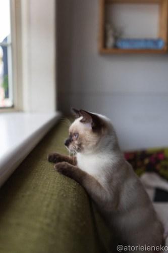 アトリエイエネコ Cat Photographer 46193385252_2357a85cc6 1日1猫!高槻ねこのおうち  バニラちゃんのトライアル決定♫ 1日1猫!  高槻ねこのおうち 高槻 里親募集 猫 子猫 保護猫 アトリエイエネコ ねこ sheltercat photo Kitten cat