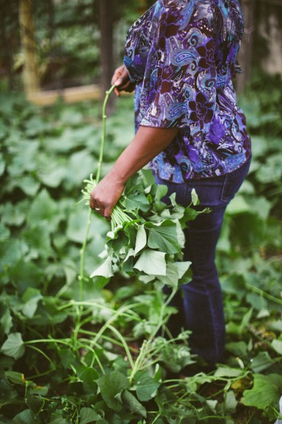 Harvesting sweet potato greens