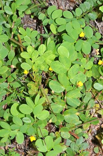 Chamaecrista rotundifolia (Roundleaf Sensitive Pea)