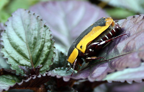 Garden fruit chafer 1