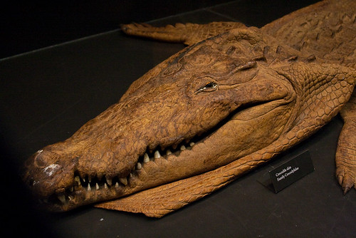 Beaty Museum - Crocodile skin