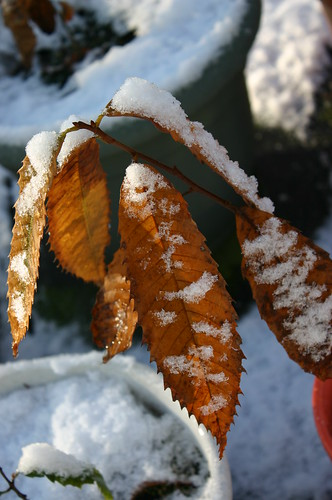 American Chestnut - Aww, Chestnuts' First Snow