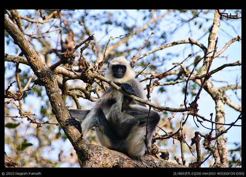 Langur on a tree | Kabini