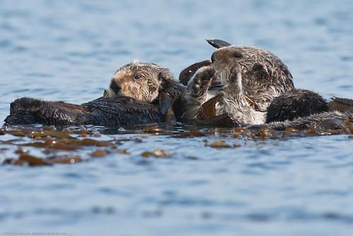 Sea Otter (Several Moms with pups) Morro Bay C...