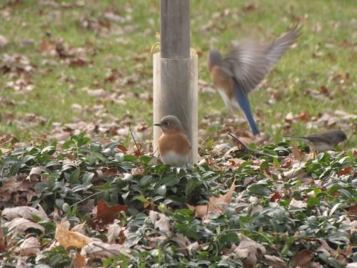333/365 Blue Birds
