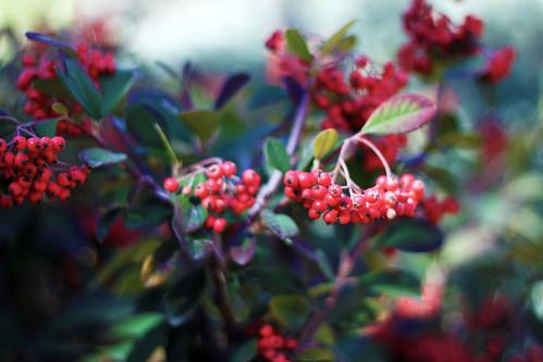 Winter-Berries