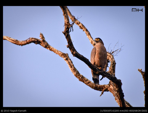Crested Serpent Eagle | Kabini