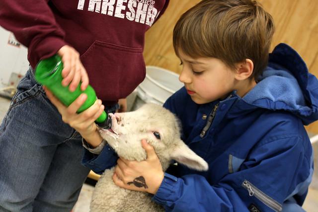 lambs - 2