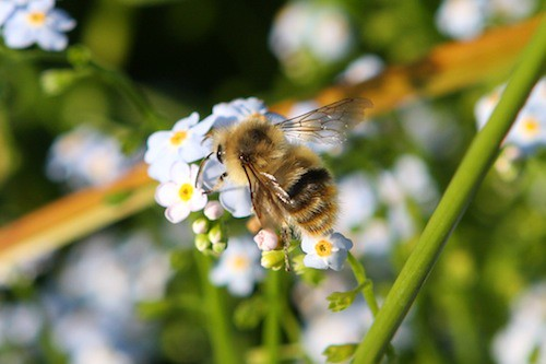 Bee & Forget-Me-Not